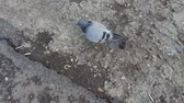 Gray dove with injured wing. Steadicam shot. Dostupné videozáznamy