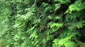 cypres : Close up of a row of evergreen cypress trees