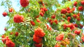 cachos : Colorful orange autumn berries hanging on a tree
