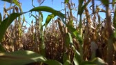 メイズ : Walking through a field of mature maize plants
