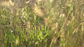 inflorescência : Walking through tall meadow grass