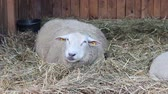 sheepskin : sheep in the barn, zooming in, Stock Footage