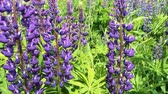 purple : Field of lupines