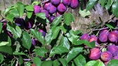 flavour : ripe plums on a branch in a garden