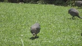 male animal : Wild guinea hen on a green grass