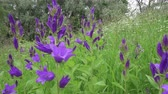 campanário : The camera moves along blue flowers of hand bells (Latin of Campanula) growing on the fringe of the forest