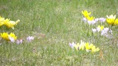 perce neige : Crocus on a glade in sunny spring day