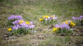 paseka : Crocus on a glade in sunny spring day