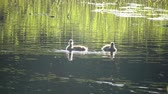 pato real : Duck with ducklings on walk floating in the pond water in sunny day. Harmony of nature. Vídeos