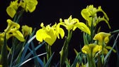 cins : Iris pseudacorus yellow flag, yellow iris, water flag, lever is a species in the genus Iris, of the family Iridaceae Stok Video