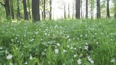 cins : Forest glade with Wild Stellaria white flowers swinging on the wind. Spring.Stellaria is a genus species flowering plants in the family Caryophyllaceae Stok Video