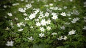 tomurcukları : forest glade with white snowdrops in the early spring Stok Video