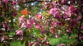 crab apple : Blooming Pink Crab Apple Trees in the Spring Garden