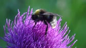 devedikeni : Bee gathers honey Blue flower greater burdock macro in field, in garden, wild forest nature beauty flora green background, meadow Stok Video