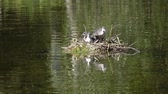 rallidae : Natatorial birds of Eurasian coot builds nests for the ptets.The Eurasian coot Fulica atra, also known as the common coot, is a member of the rail and crake bird family Rallidae
