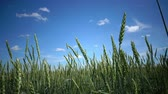 parque eólico : Wind swings ripe ears of wheat in the field in sunny day