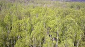 maravilha : Aerial view from drone on the birch wood in the summer sunny day