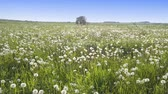 stabilizer : The drone flies at small height along the field with white dandelions to sunny summer day Stock Footage