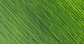 glides : Aerial Drone Shot over Large Green Wheat Field Stock Footage