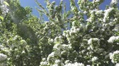 crab apple : The camera moves along the apple-tree blossoming white flowers in sunny spring day