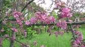 crab apple : The camera moves along the apple-tree blossoming red flowers in sunny spring day