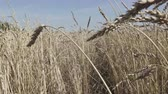rozs : The camera moves on field of golden ripe wheat ready to be harvested in summer sunny day
