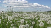 stabilizer : white dandelion field in summer sunny day against the background of the sky with white clouds
