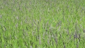 fodder : The strong wind inclines Timothy-grass Phleum pratense in field to summer sunny day