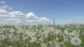 stabilizer : white dandelion field in summer sunny day against the background of the sky with white clouds camera moves from below to top Stock Footage