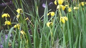 rod : Iris pseudacorus yellow flag, yellow water flag, lever is a species in the genus Iris, of the family Iridaceae