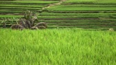 plantation : footage over rice terrace and palm trees of mountain and house of farmers . Bali. Indonesia