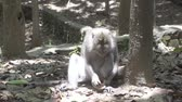 krab : The crab-eating macaque ,Macaca fascicularis, also known as the long-tailed macaque,Sangeh Monkey Forest Bali Wideo