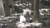 macaque : The crab-eating macaque ,Macaca fascicularis, also known as the long-tailed macaque,Sangeh Monkey Forest Bali Stock Footage