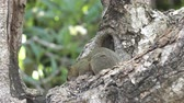szczur : The common treeshrew eats nuts sitting on a tree