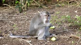 fascicularis : The crab-eating macaque ,Macaca fascicularis, also known as the long-tailed macaque