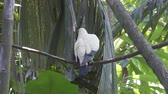 pombo : Australian White-headed Pigeon Columba leucomela perching in branches among palm leaves