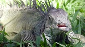 galapagos : Big green iguana on a green grass Stock Footage