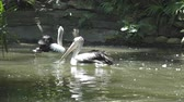 pelikán : Reat white pelican and the pelican family at the zoo