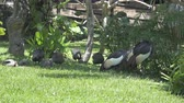 gansos : Magpie goose or Anseranas semipalmata black and white bird on green grass