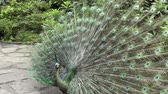 estendido : Blue peacock with feathers extended flutters its feathers