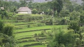 балийский : footage over rice terrace and palm trees of mountain and house of farmers . Bali. Indonesia