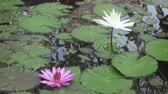 lake aquatic : Flowers of pink and white Lotus have revealed in a reservoir