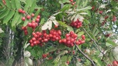 medycyna : Bush of red ripe mountain ash in the wind Wideo