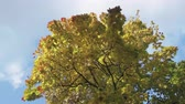bottom view : The bottom view on a maple with green yellow and red leaves against the background of the blue sky in autumn sunny day