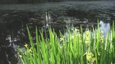 rod : Iris pseudacorus yellow flag, yellow iris, water flag, lever is a species in the genus Iris, of the family Iridaceae on the bank of the lake in sunny day