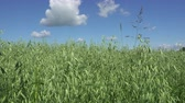 рожь : Wind the Panorama swings ears of green wheat in summer sunny day