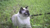 вести : Young cat, kitten, Siam oriental group, Mekong bobtail walks on a lead in a green grass Стоковые видеозаписи