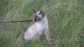 siyam : Young cat, kitten, Siam oriental group, Mekong bobtail walks on a lead in a green grass Stok Video