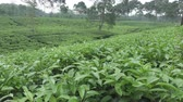 plantation : Tea plantation in Wonosobo. Indonesia, Java