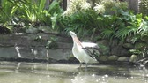 The pelican 動画素材